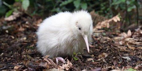 野生动物中心的工作人员依然无法判断小kiwi的