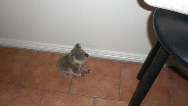 澳洲孤儿考拉走红网络 抱腿不放萌翻众人