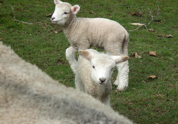 可爱的小羊羔们也争相恐后的迎春来啦! photos / p.k. stowers