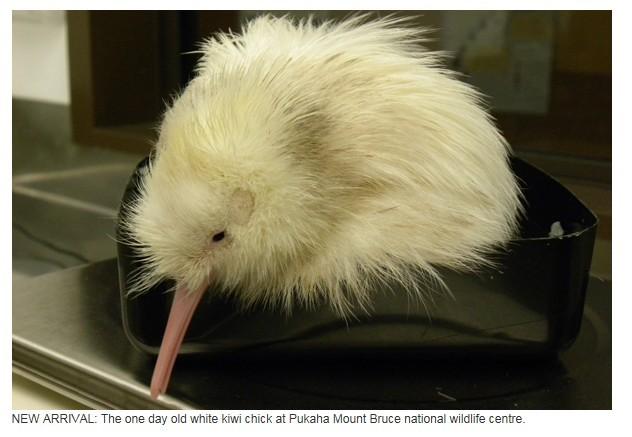 第三只!国家野生动物中心再诞珍稀小白kiwi鸟(图)