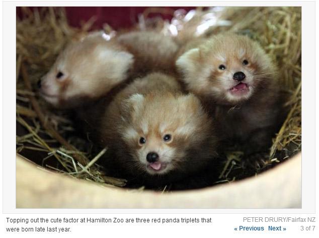 汉密尔顿动物园喜迎小熊猫三胞胎宝宝