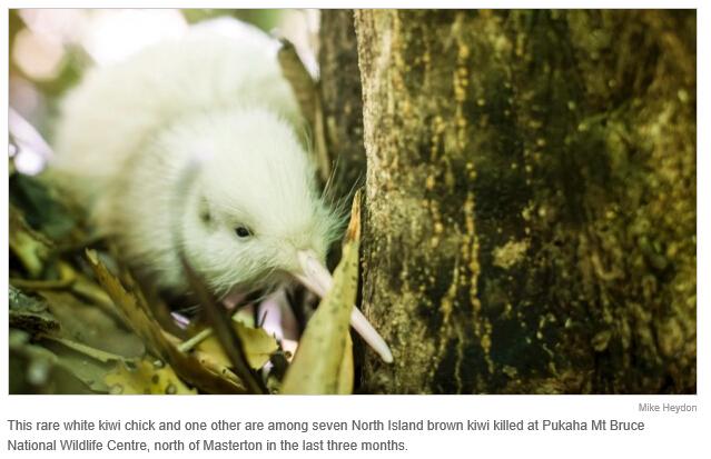 是谁痛下杀手?珍稀白色kiwi鸟命丧野生动物中心