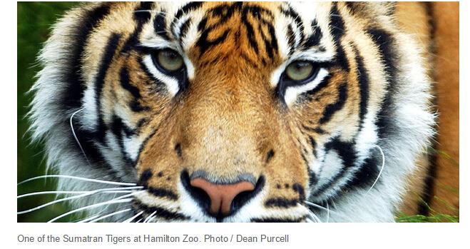 汉密尔顿老虎伤人事件:动物园将不会处死肇事老虎