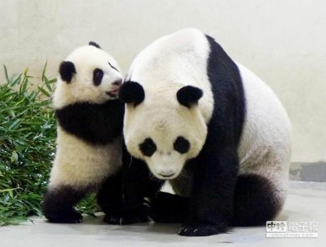 赠台大熊猫宝宝媒体处女秀 活泼卖萌惹人爱