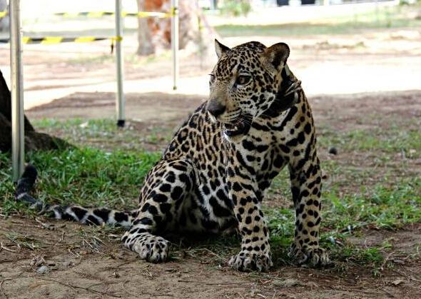 它还具有猫科动物的共性,比如对人表示亲昵的时候会在人的双腿间钻来