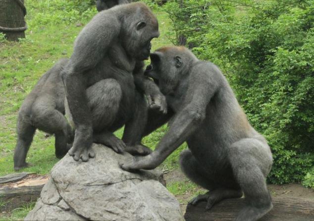 美国动物园大猩猩挥拳厮打