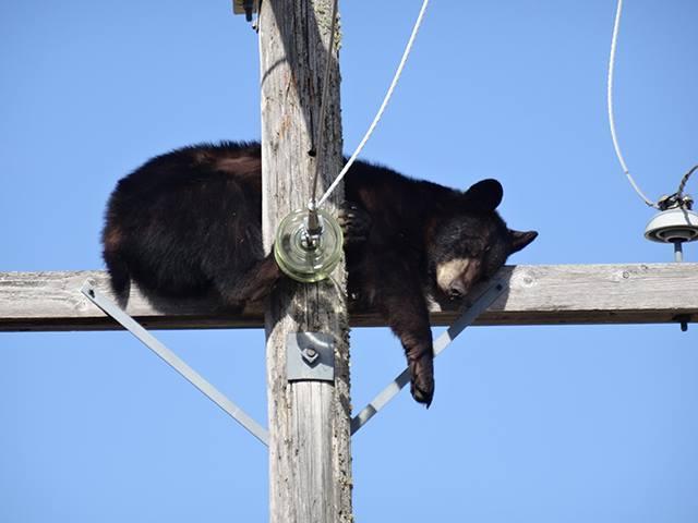 黑熊被猎狗赶到电线杆上